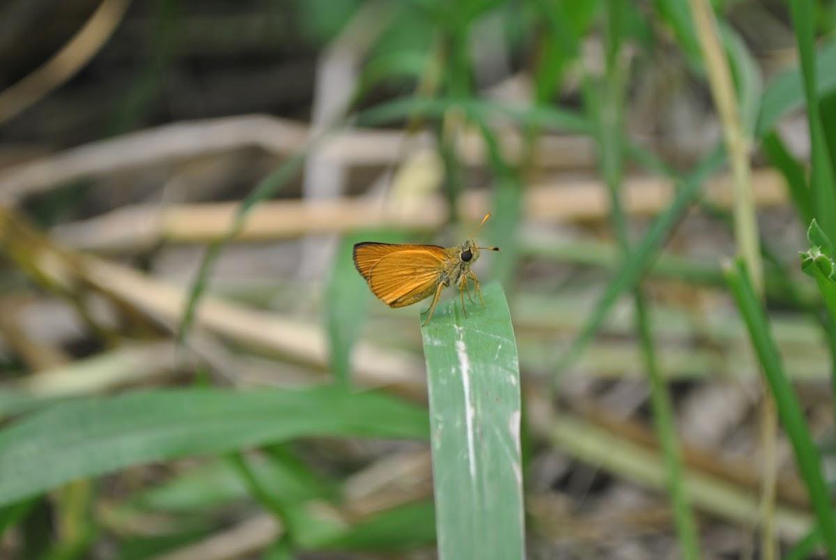 Hesperiidae ~ Skippers