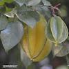 Carambola or Starfruit, Kamranga