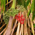 Manila palm or Christmas palm