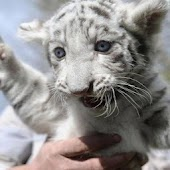 Cute Tiger& Animals Photos
