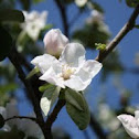 white flowering quince