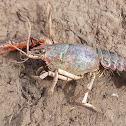 (dead) crayfish