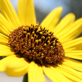 Helianthus annus - Sunflower by Colin Toone - Flowers Single Flower (  )