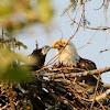 Bald Eagle (Adult & Eaglet)