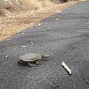 Oblong Turtle
