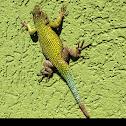 Green Spiny Lizard or Emerald Swift