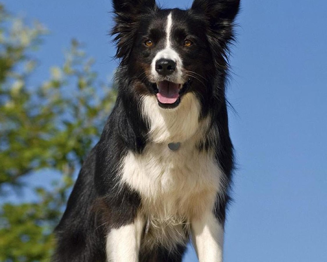 Border Collie Wallpapers Apl Android Di Google Play