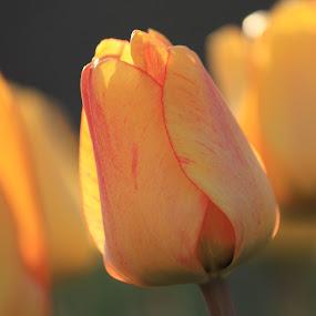 Tulip by Steve Densley - Flowers Single Flower ( tulip, tulips, flowers, bokeh, flower,  )