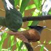 Female Asian Paradise Flycatcher