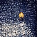 Lady bird beetle !!