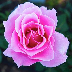 Natural Rose by Greg Bracco - Flowers Single Flower ( rose, gregbracco, beauty, canon5diii, flower,  )