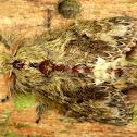 Lasiocampid Moth
