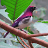 Violet- backed Starling