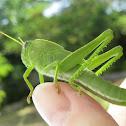 Green locust nymph