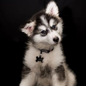 Talkeetna The Pup by Stuart Partridge - Animals - Dogs Portraits