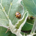 Six Spotted Zigzag Ladybird