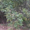 bush clove