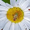 Alfalfa Plant Bug