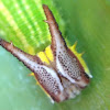 Palmfly Caterpillar