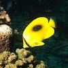Oval Spot Butterflyfish