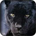 Panther wallpapers icon