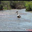 White Stork (πελαργός)