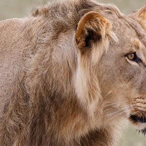 Focused by Tom Esterhuizen - Animals Lions, Tigers & Big Cats ( lion, predator, cat, africa, kalahari )