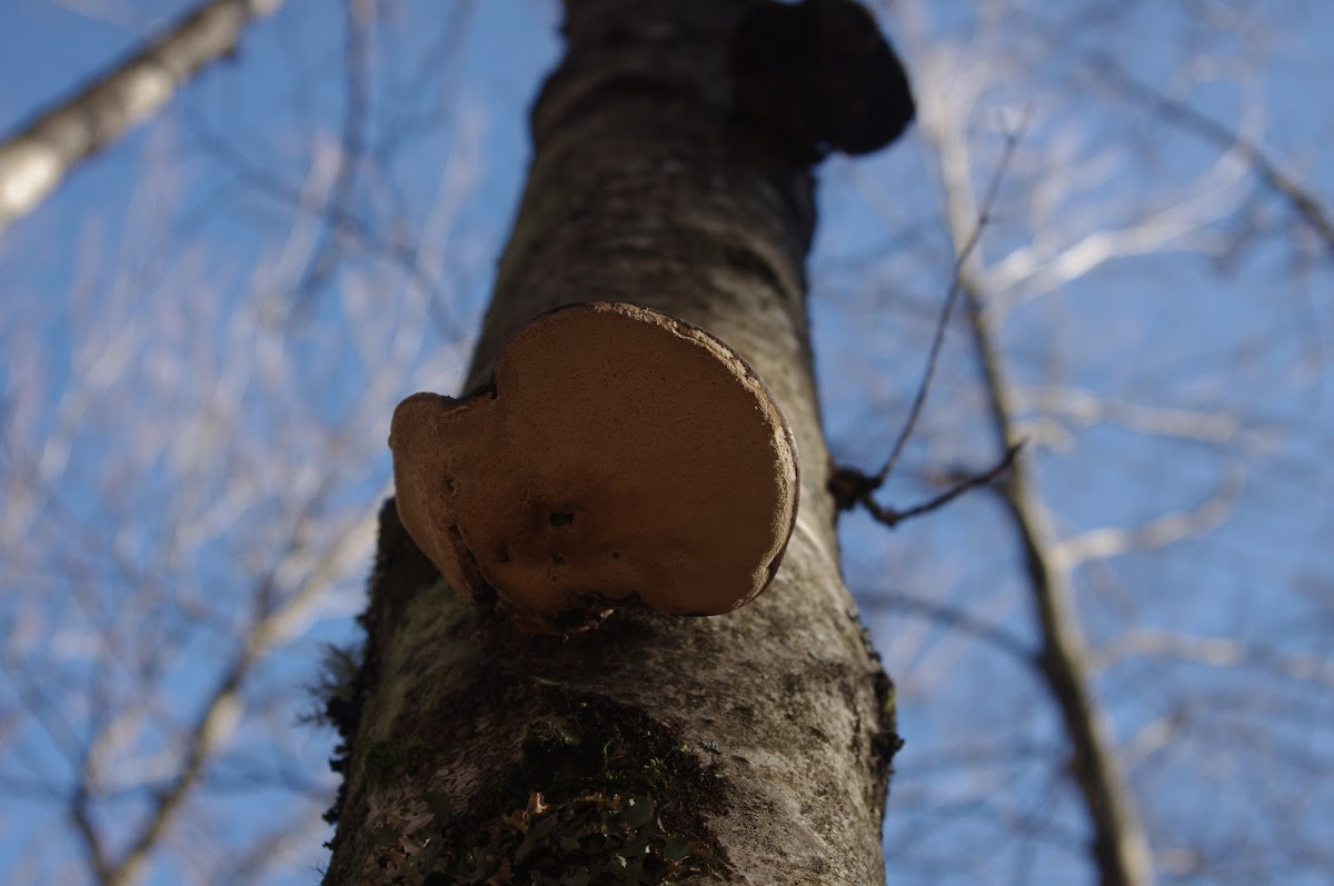 Birch polypore or Razor strop