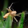 Lynx spider, Araña lince