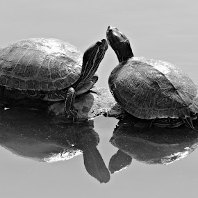 Terrapins by Tamsin Carlisle - Black & White Animals ( calm, slider, water, shell, reflection, neck, black and white, pair, turtle, two, terrapin, red, chelonia, eared, reptile, head, pond, bask, animal, , sea creatures, underwater life, ocean life )