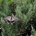 Asian Swallowtail