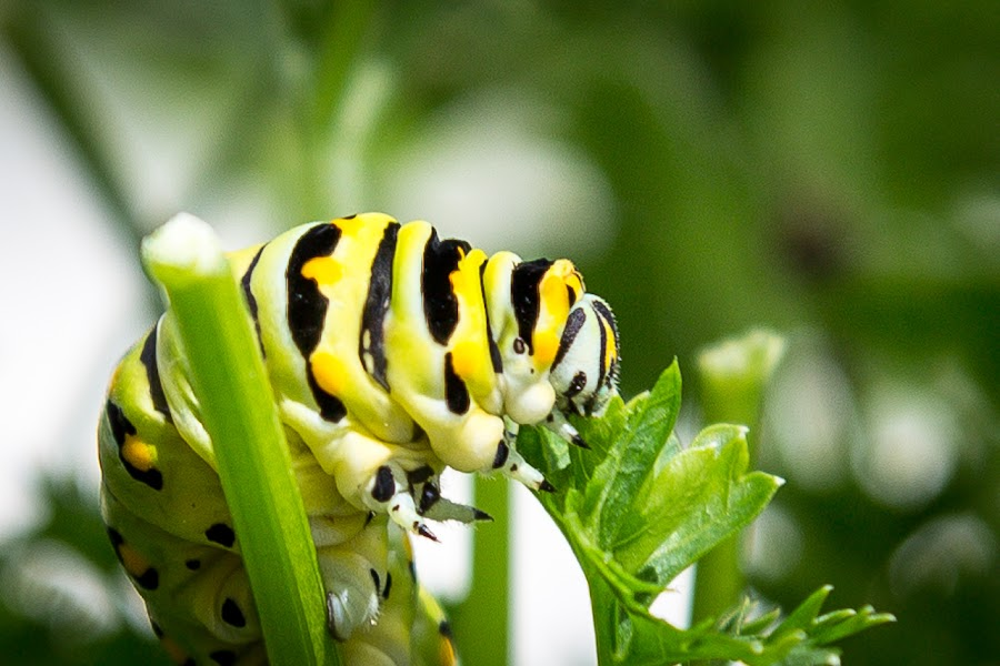 Caterpillar eating Parsley  by Larry Johnson - Animals Insects & Spiders ( macro, insect )