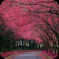 Sakura Live Wallpaper 1.3