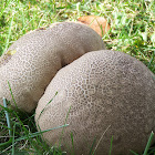 Earthball  Scleroderma sp.