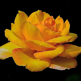 A Rose By Any Name by Roy Walter - Flowers Single Flower ( rose, single flower, flowres, yellow, garden, flower )