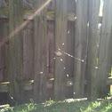Spiny-backed orbweaver