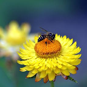 Sucking Honey by Azman Kamaruddin - Flowers Flowers in the Wild