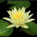 Hairy water lily