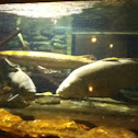 Common carp and spotted gar