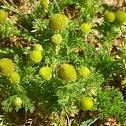 Pinapple Weed