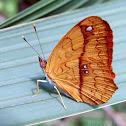 Little Banner Butterfly