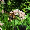 Broad-bordered Bee Hawk-moth