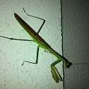 Preying mantis - male