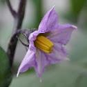 Eggplant (flower)