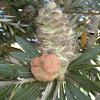 Banksia galls