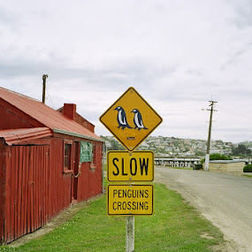 Slow by Marion Metz - Artistic Objects Signs ( sign, crossing, oamaru, nature, penguins, new zealand )