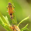 Margined leatherwing soldier beetle