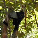 """Baboon"" - Black Howler Monkey"