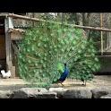Peacock Wallpaper , 壁紙 孔雀 logo