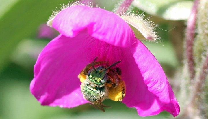 Sweat bee (2)